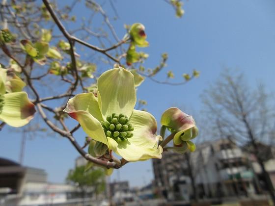 2020-04-09_1306_ハナミズキ_IMG_3529_s.JPG