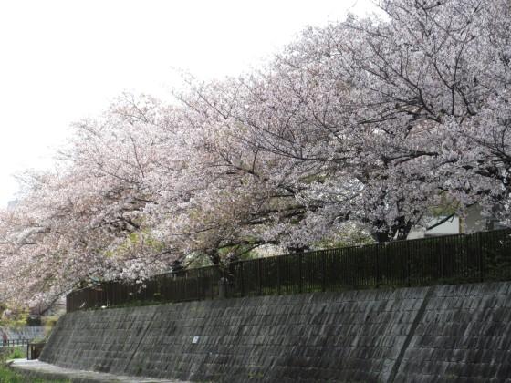 2020-04-11_1012_サクラ・庄下川_IMG_3555_s.JPG