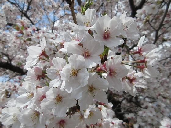 2020-04-11_1013_サクラ・庄下川_IMG_3558_s.JPG