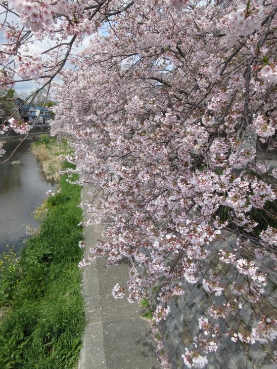 2020-04-11_1013_サクラ・庄下川_IMG_3559_s.JPG