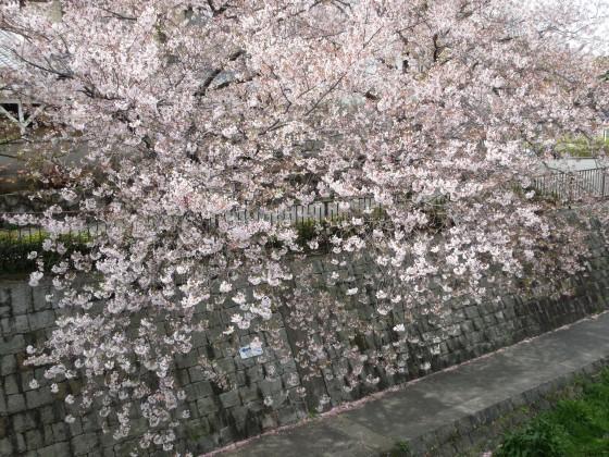 2020-04-11_1014_サクラ・庄下川_IMG_3560_s.JPG