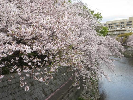 2020-04-11_1020_サクラ・庄下川_IMG_3572_s.JPG
