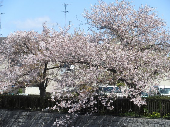 2020-04-14_1021_サクラ・庄下川_IMG_3585_s.JPG