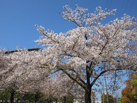 2020-04-14_1035_サクラ・庄下川_IMG_3588_s.JPG