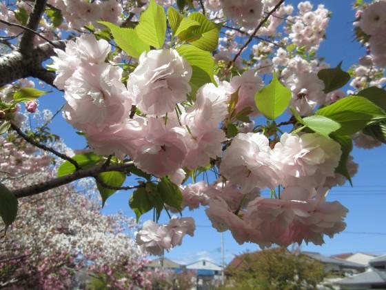 2020-04-14_1045_八重サクラ・昆陽川_IMG_3601_s.JPG