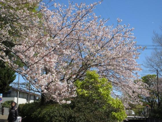 2020-04-14_1050_サクラ・庄下川_IMG_3607_s.JPG