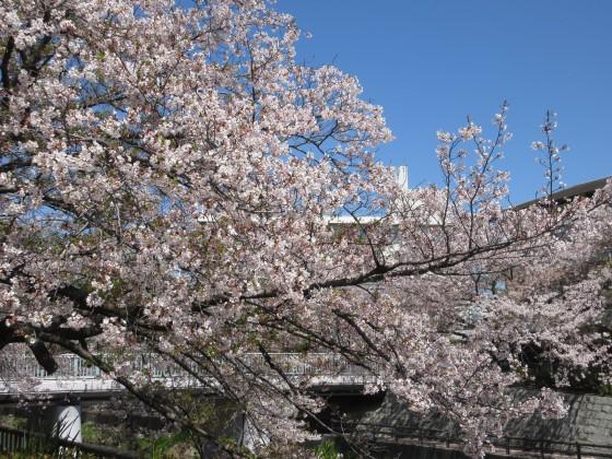 2020-04-14_1126_サクラ・庄下川_IMG_3623_s.JPG