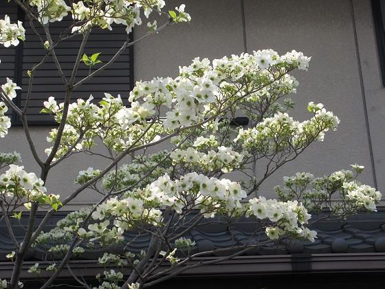 2020-04-16_1120_ハナミズキ_IMG_3653_s.JPG
