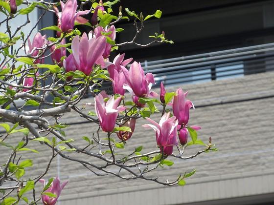2020-04-16_1139_シモクレン_IMG_3664_s.JPG