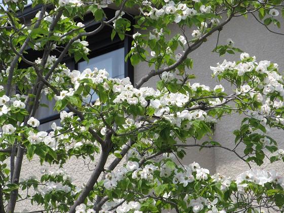 2020-05-02_1155_ハナミズキ_IMG_3672_s.JPG