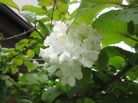 2020-05-03_1128_オオデマリ_IMG_3714_s.JPG