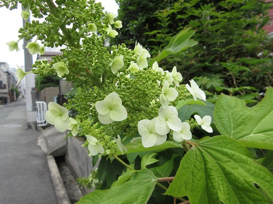 2020-05-17_1148_カシワバアジサイ_IMG_3992_s.JPG