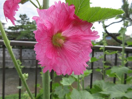 2020-05-20_0957_タチアオイ_IMG_3996_s.JPG