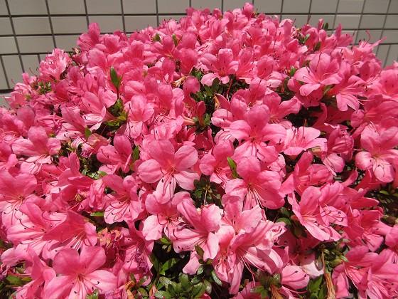 2020-05-24_1203_サツキ_IMG_4025_s.JPG