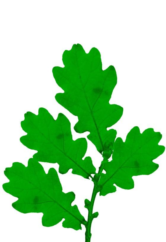 Oak twig green.jpg