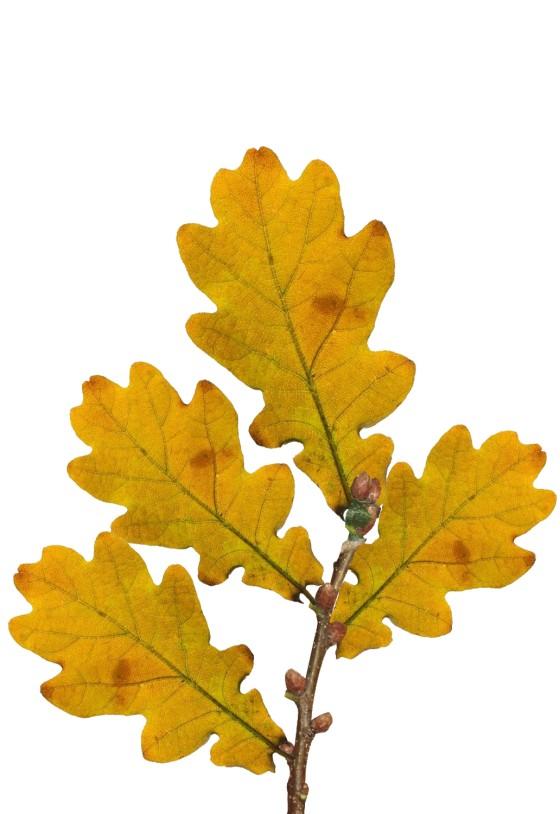 Oak twig yellow.jpg