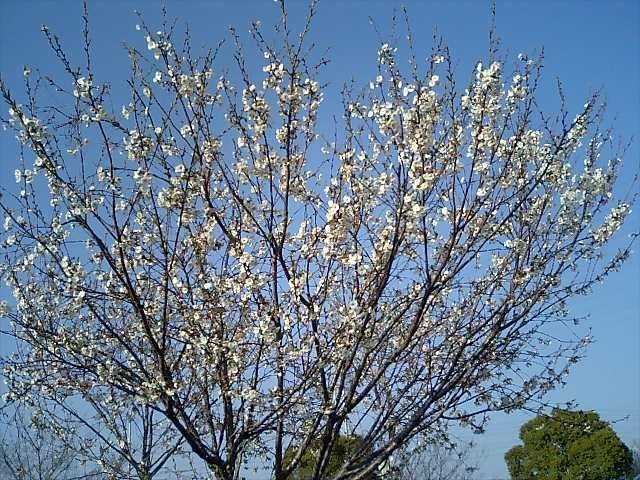2008年桜