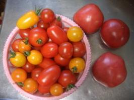 大量のトマト
