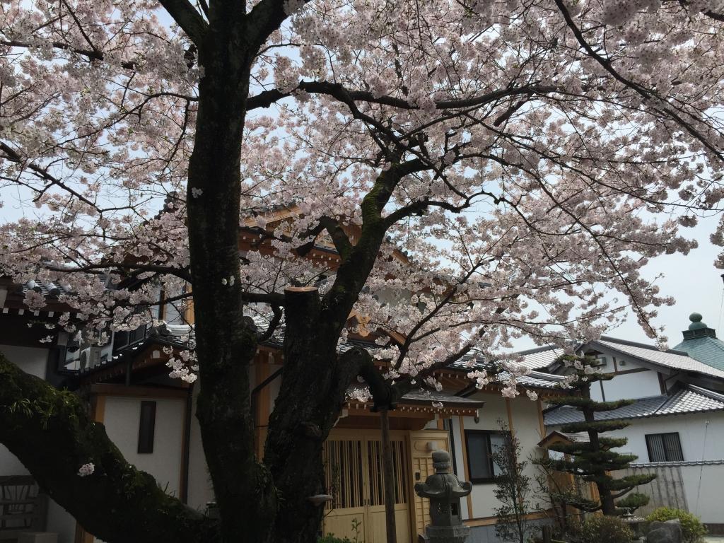 桜 花見 開花