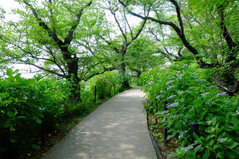アジサイ小道