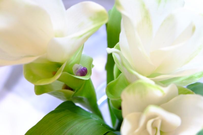 クルクマ 花