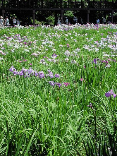 本土寺_菖蒲園の画像