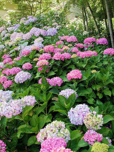 本土寺_紫陽花の画像
