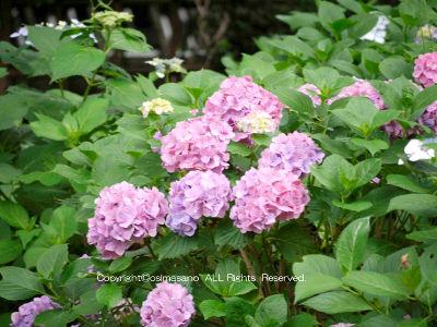 宗吾霊堂_紫陽花園の画像