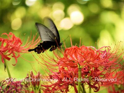 千葉都市緑化植物園の赤い彼岸花_2の画像