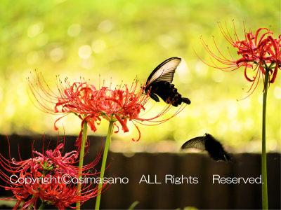 千葉都市緑化植物園の赤い彼岸花_3の画像
