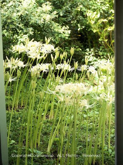 三陽メディアフラワーミュージアムの白い彼岸花_1の画像
