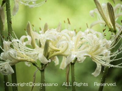 三陽メディアフラワーミュージアムの白い彼岸花_2の画像
