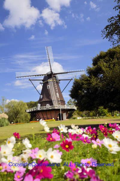 ふなばしアンデルセン公園の風車とコスモスの画像