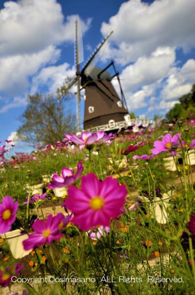 ふなばしアンデルセン公園の風車とコスモス_2の画像
