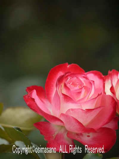 薔薇_ジュビュレ デュ プリンス ドゥ モナコの画像