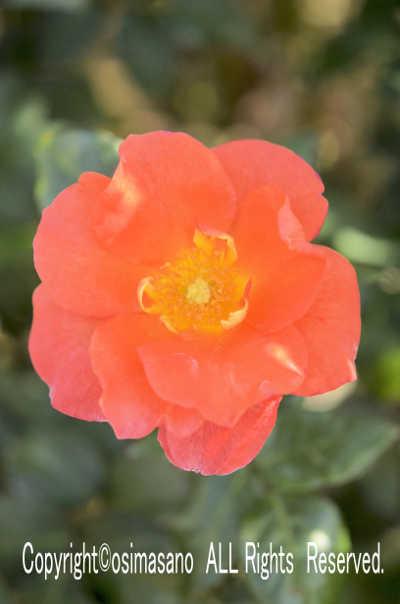 薔薇_プリンセス ミチコの画像
