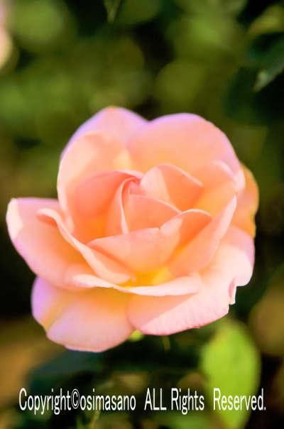 薔薇_エンプレス ミチコの画像