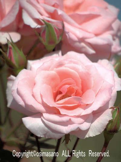 薔薇_プリンセス アイコの画像