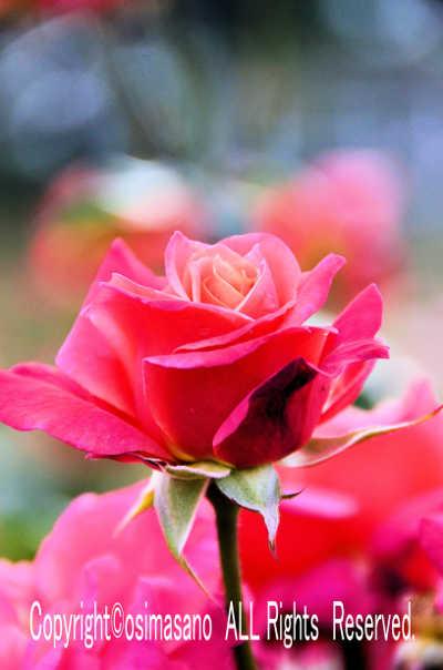 薔薇_プリンセス チチブの画像