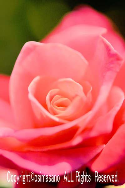 薔薇_プリンセスサヤコの画像