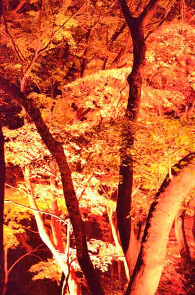 六義園の紅葉_ライトアップ_1の画像