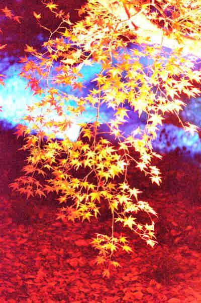 六義園の紅葉_ライトアップ_3の画像