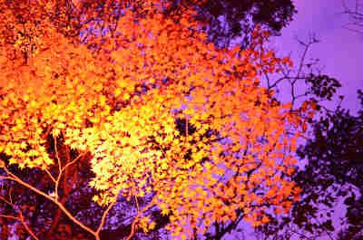 六義園の紅葉_ライトアップ_5の画像