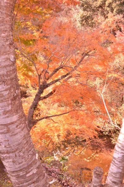 濃溝の滝の笹川湖畔公園清水渓流広場からみた紅葉の画像