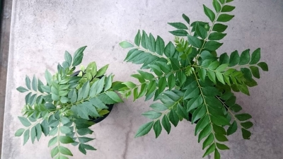カレーの木