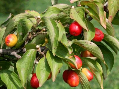 コーネリアンテェリー(セイヨウサンシュユ)の種