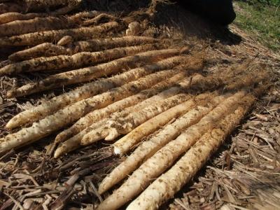 自然薯のむかご