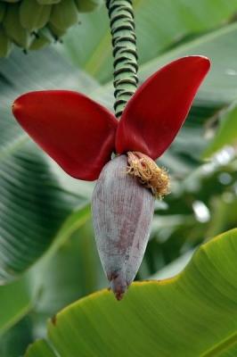 ニューバルビシアーナバナナ