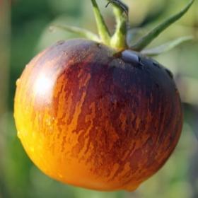 ストライプオブヨールトマト