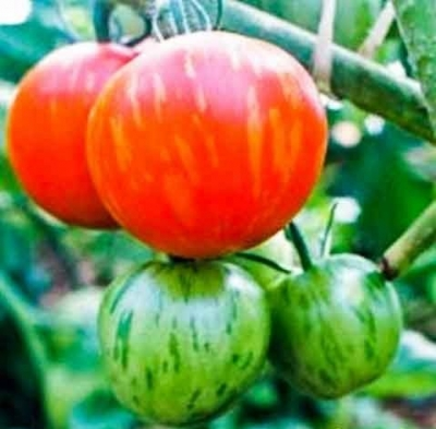 アムールタイガートマト
